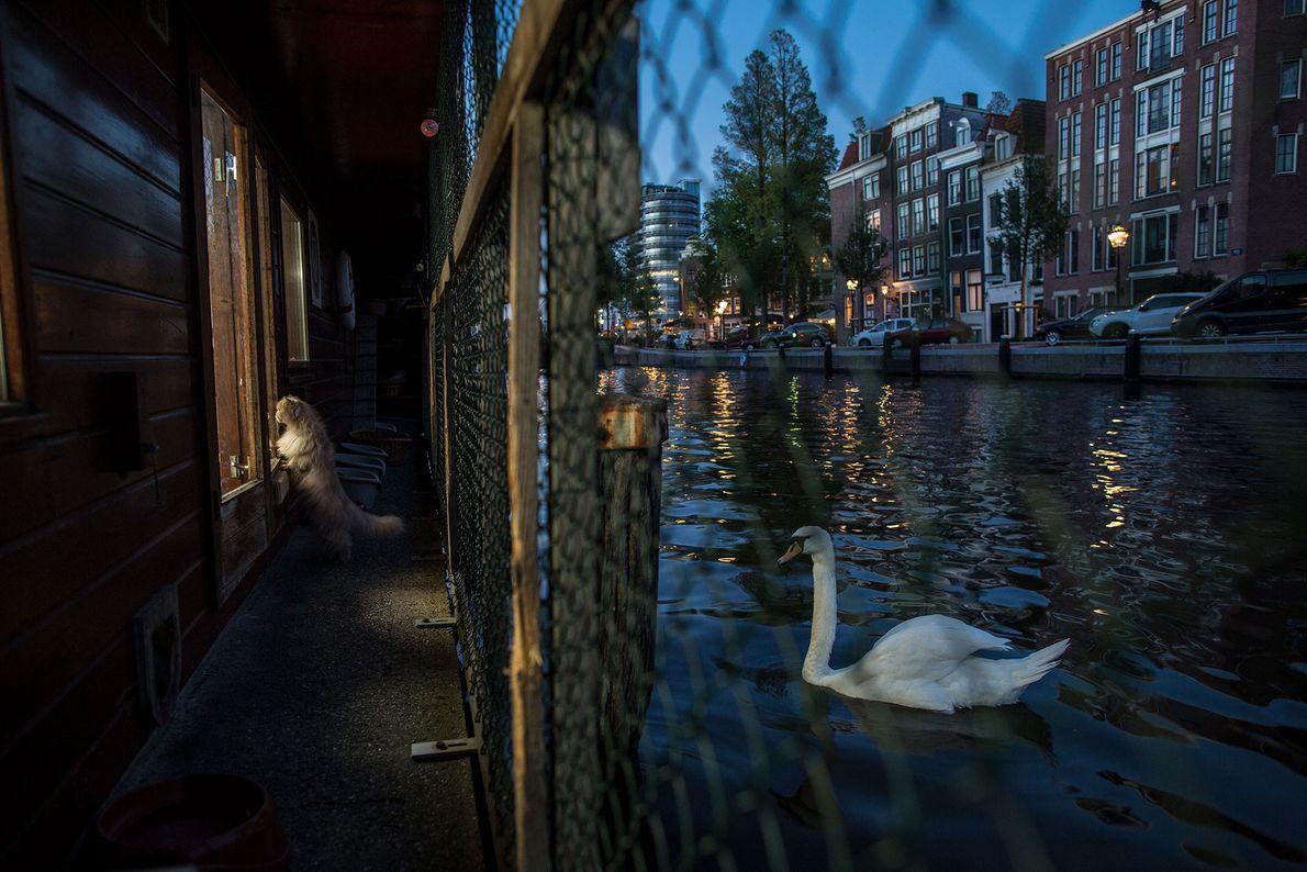 Um cisne nada junto ao Catboat.