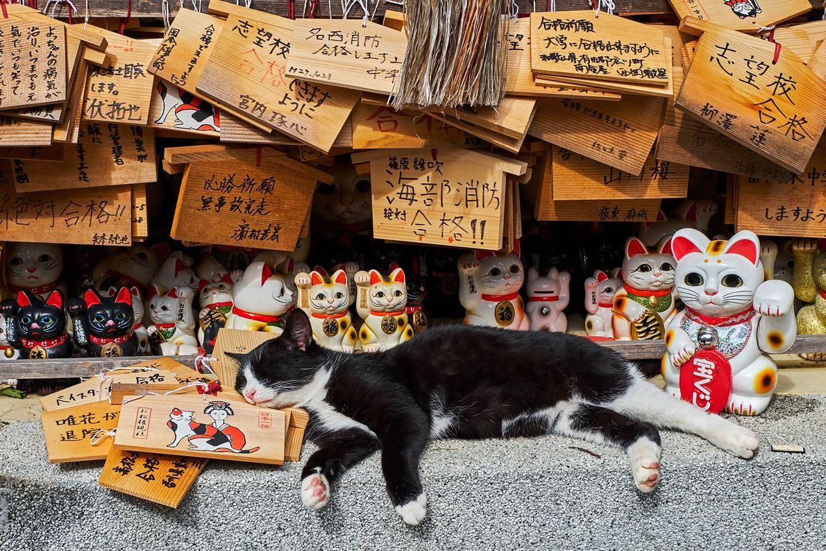 """Um gato verdadeiro deitado no meio de estátuas maneki-neko, ou """"gato da sorte"""", num templo de ..."""