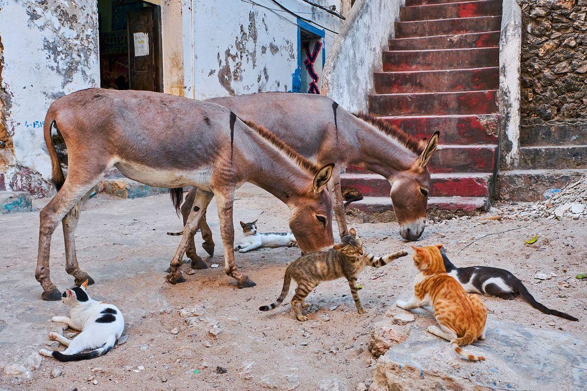 Para além da densa população de gatos de rua, Lamu também é o lar de milhares ...