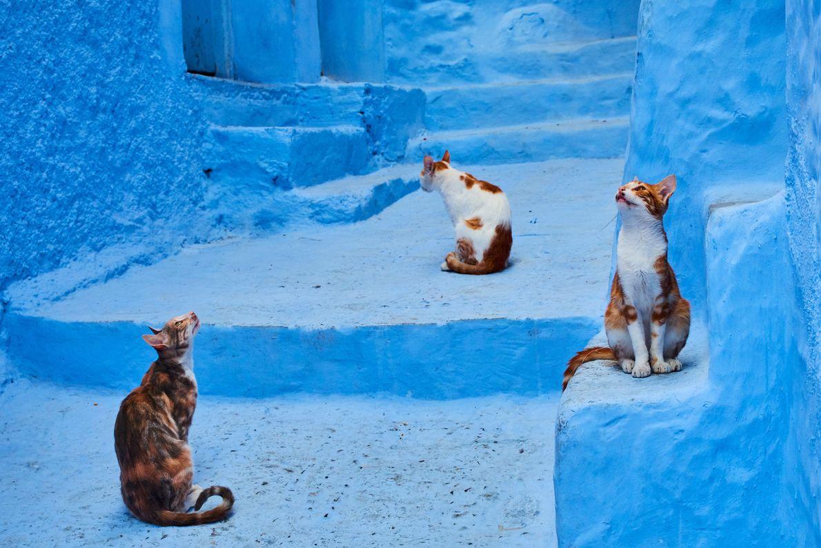 Gatos a observarem o que os rodeia, em Xexuão, Marrocos.