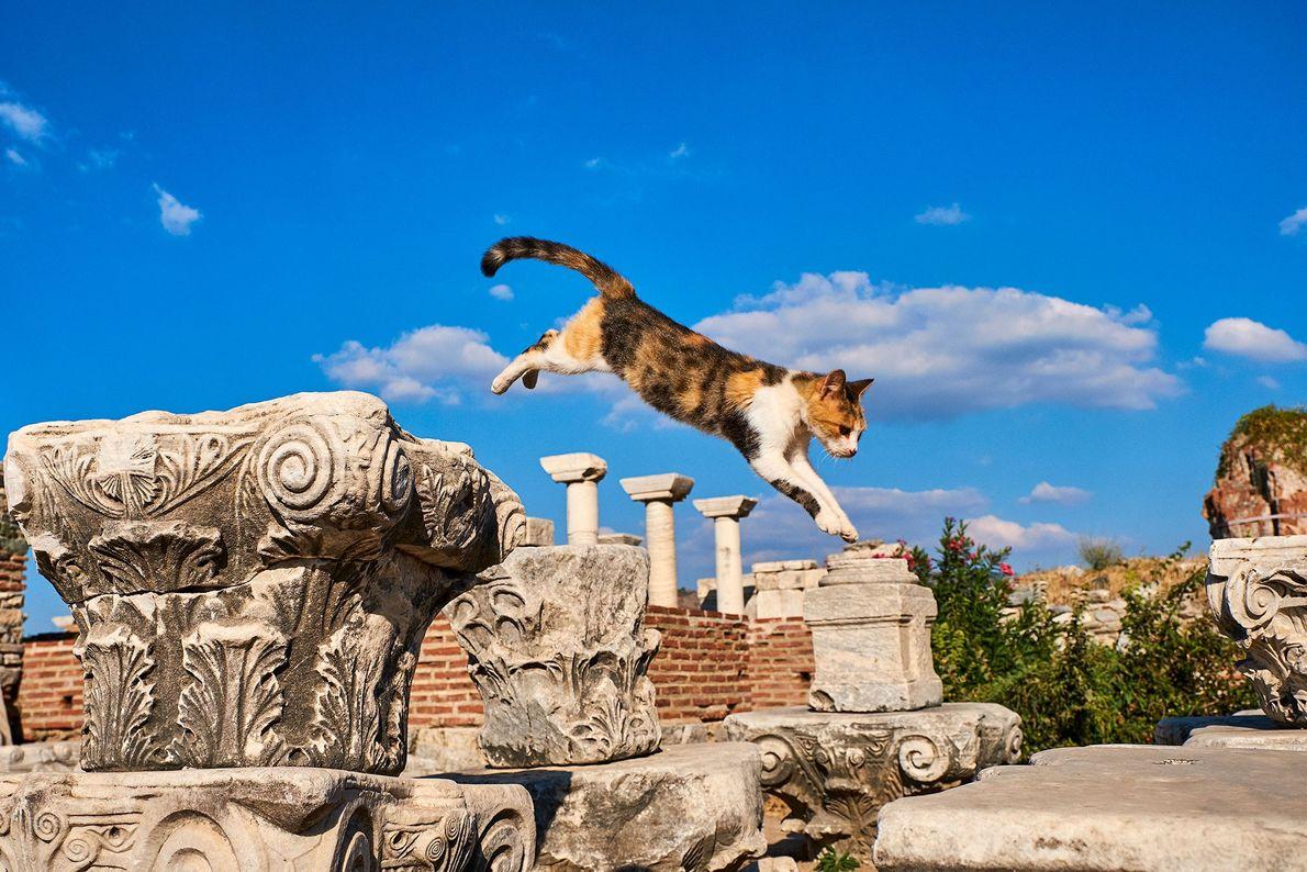 Éfeso, antiga cidade portuária romana, é o lar de um sem número de felinos.
