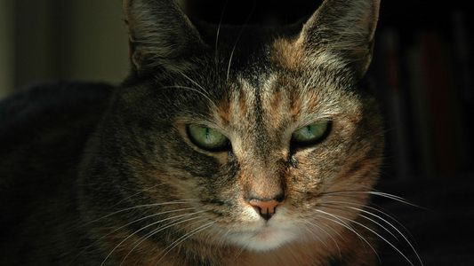 Algumas Pessoas Conseguem Ler Expressões de Gatos. É Uma Delas?