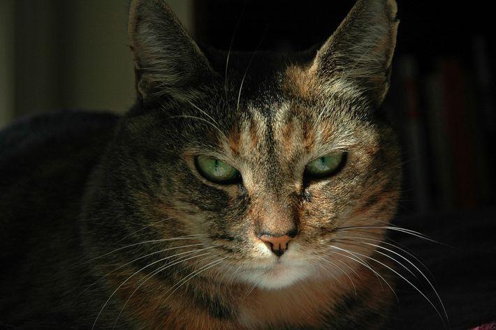 Tal como acontece com os humanos, os gatos também comunicam as suas emoções através de expressões ...