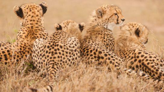 Uma família de chitas descansa na Reserva Nacional do Masai Mara, no Quénia