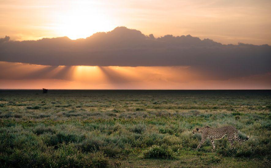 Uma chita no Parque Nacional do Serengeti