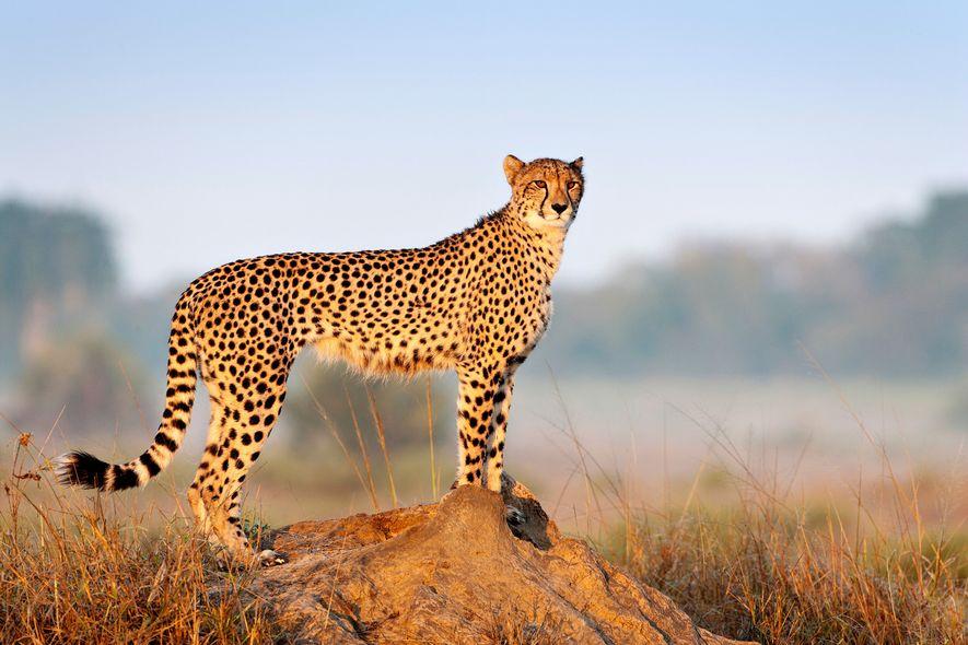 Uma chita observa a reserva de caça privada de Phinda, em Kwazulu Natal, na África do ...