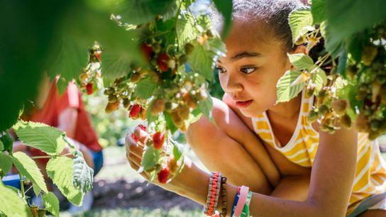 criança apanha fruta