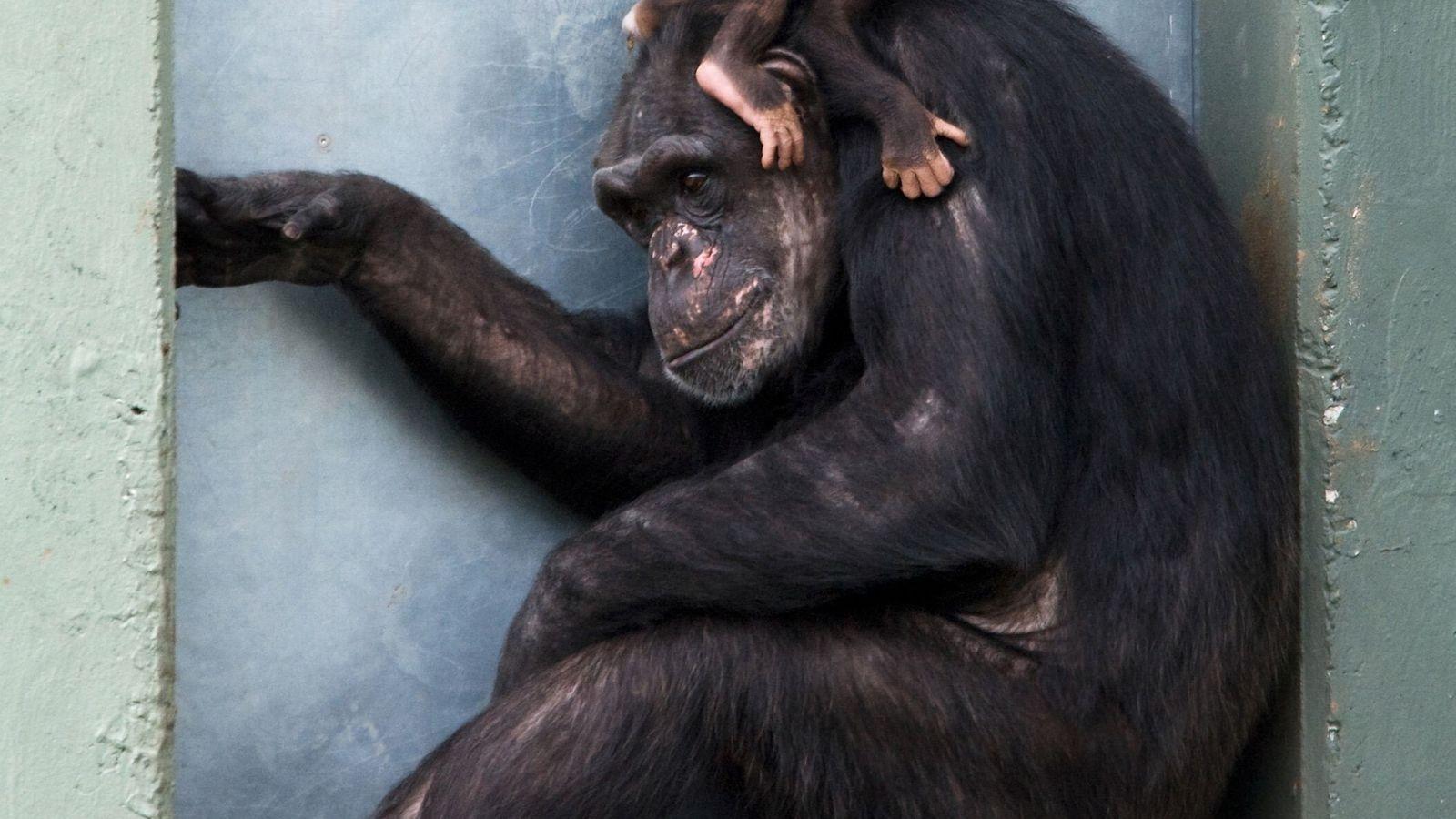 Chimpanzé bebé abraçado à  mãe