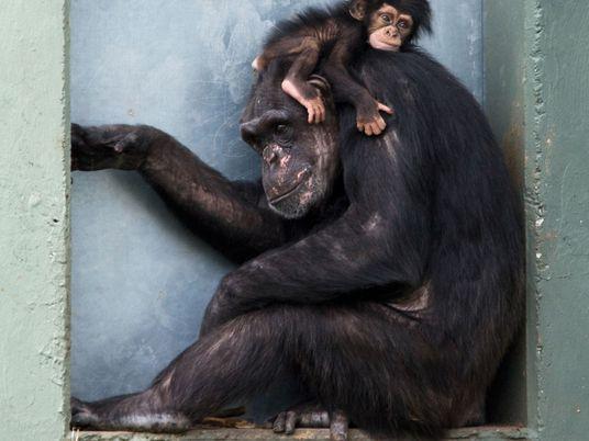 """As mães chimpanzés são como nós: fazem o luto, cuidam e tiram tempo """"pessoal""""."""