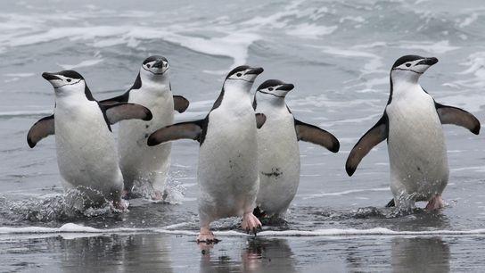 Pinguins-de-barbicha a regressarem à sua colónia, em Stinker Point, na costa oeste da Ilha Elefante. Estas ...