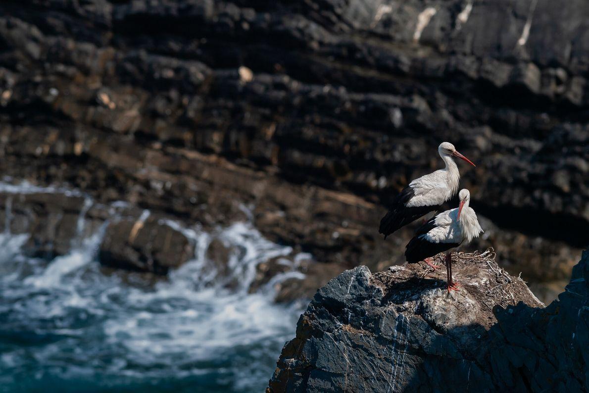 cegonhas-brancas em arribas junto ao mar
