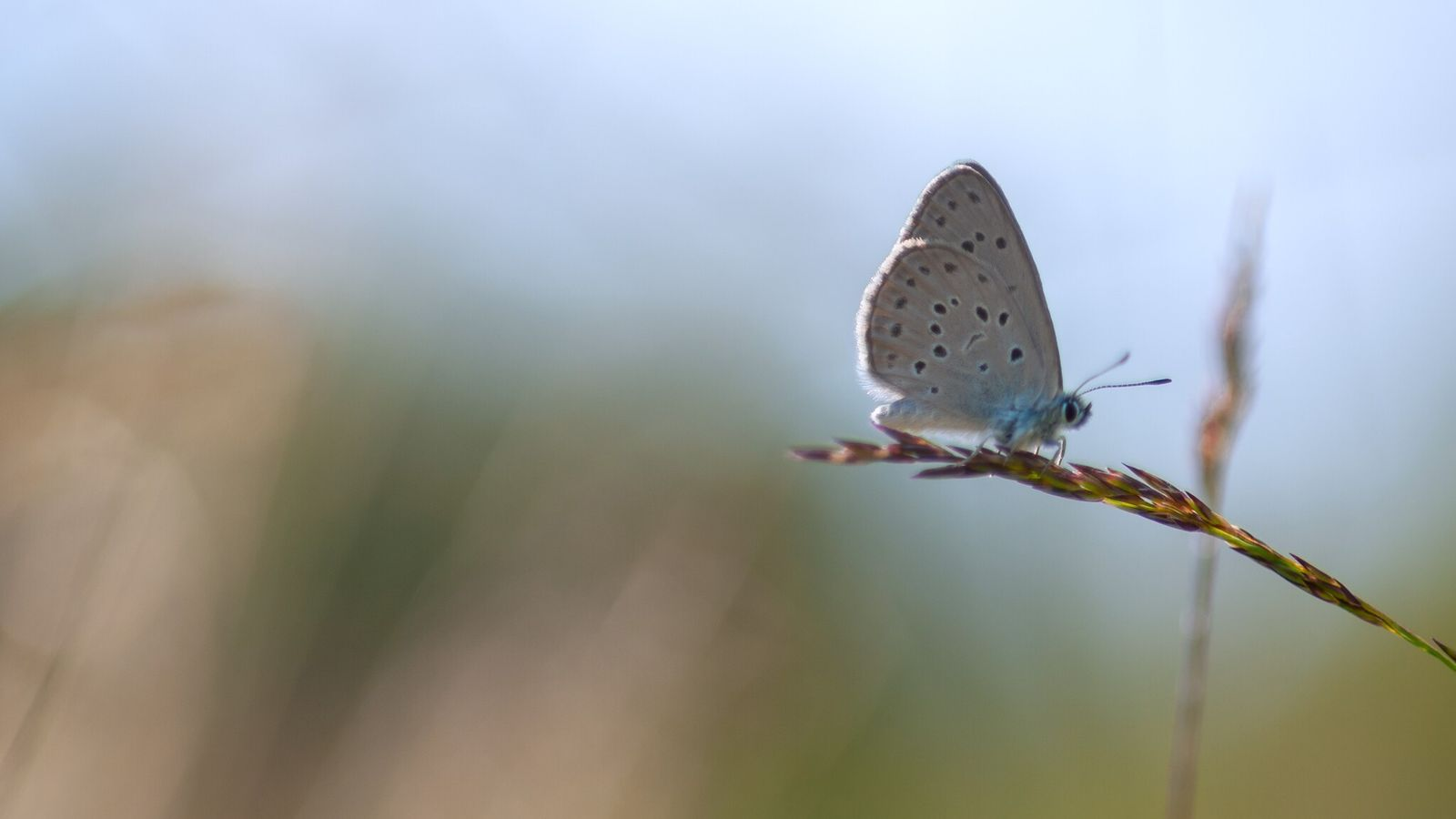 Borboleta-azul-das-turfeiras