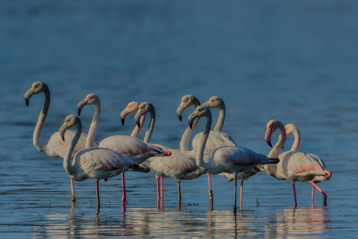 Grupo de flamingos na Ria de Aveiro, zona da Bestida.