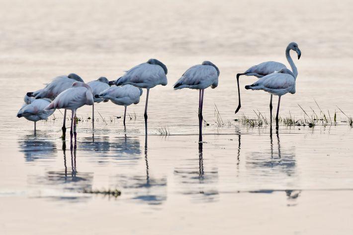 Um grupo de flamingos descansa ao final da tarde nas margens da Ria de Aveiro na ...