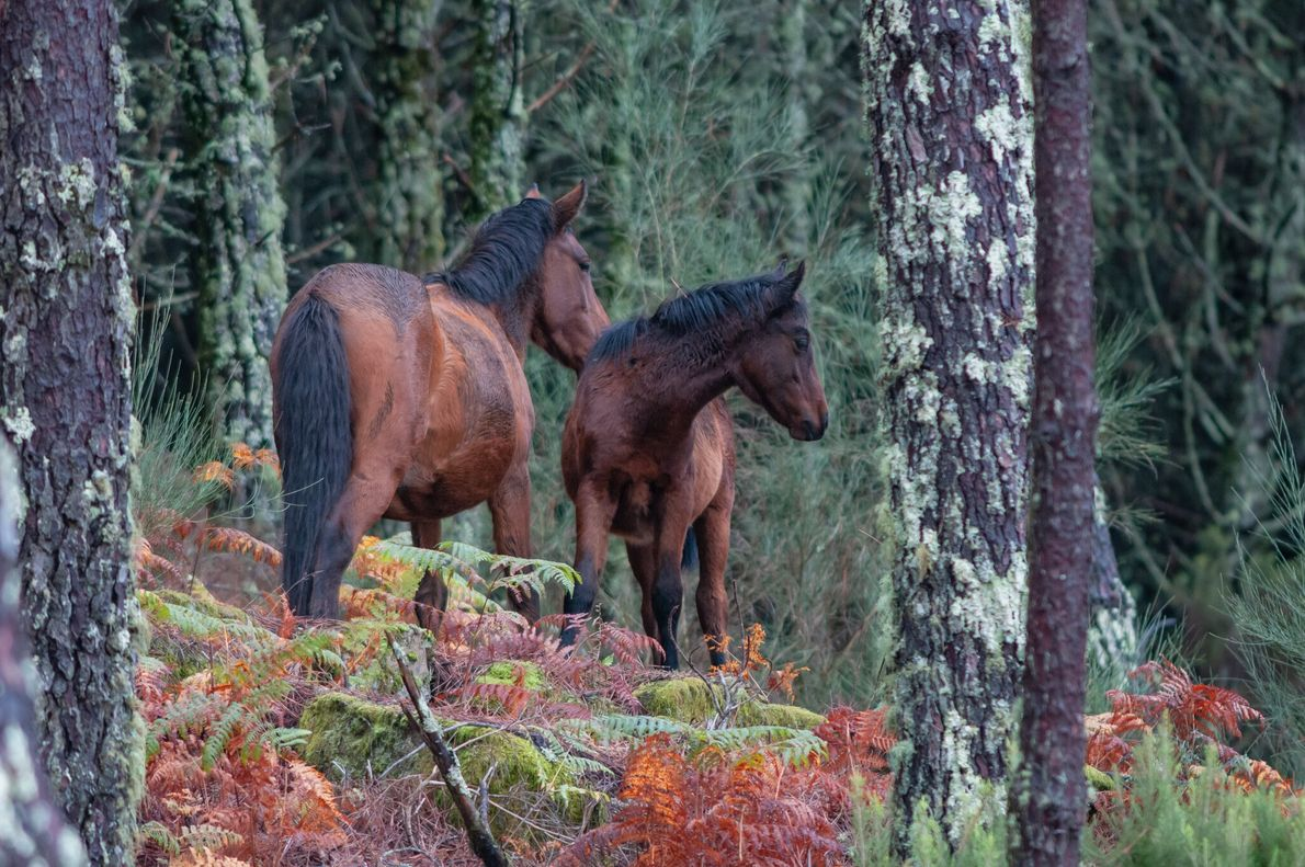 Grupo de garranos, um cavalo semi-selvagem de raça autóctone na zona do Soajo, Parque Nacional da ...