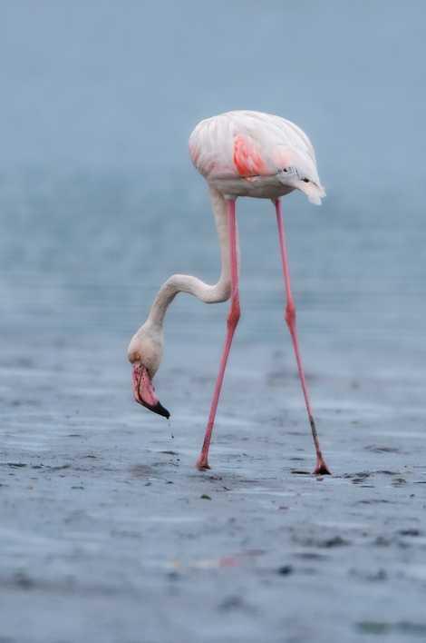 Um flamingo alimenta-se numa manhã fria de Outono numa das margens da Ria de Aveiro durante ...