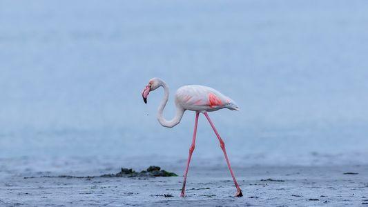O Regresso dos Flamingos à Ria de Aveiro