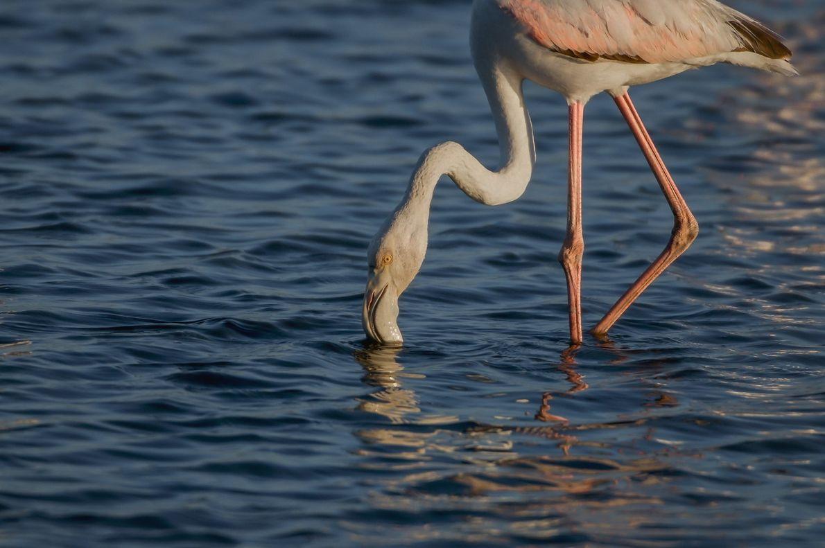 Um flamingo alimenta-se numa salina à entrada da cidade de Aveiro.