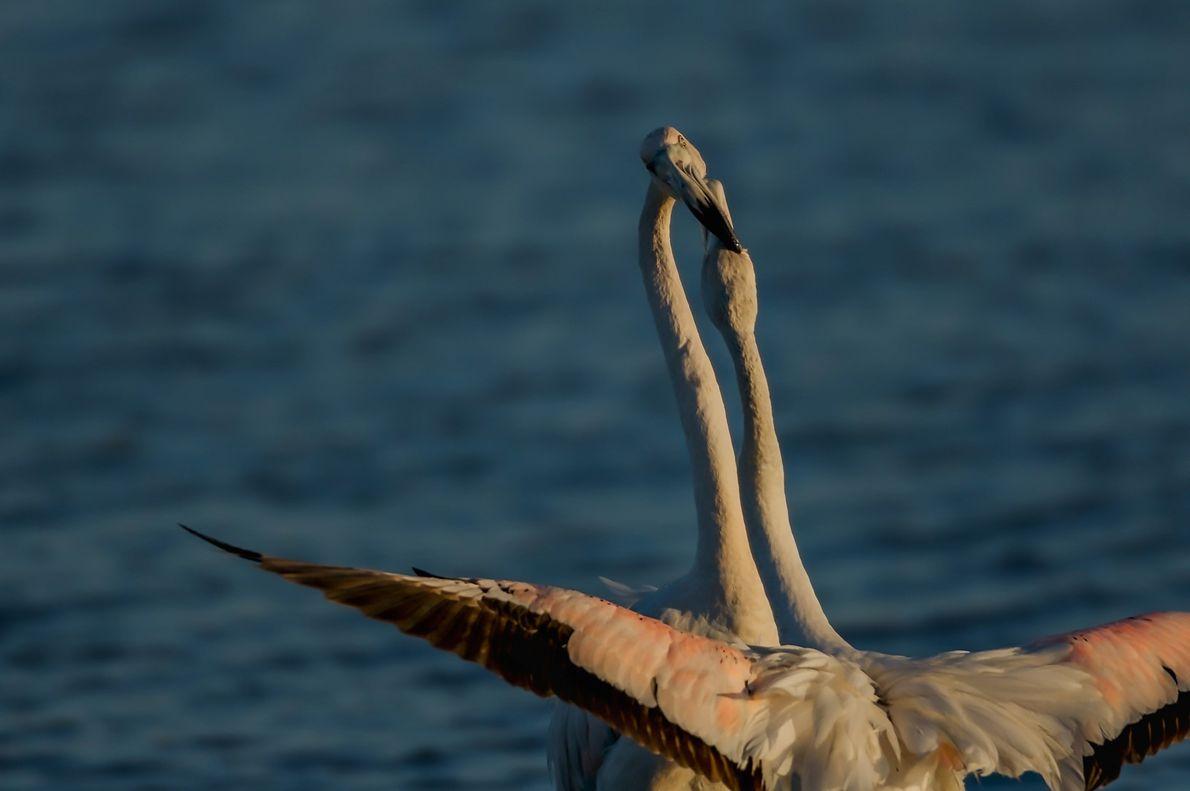 Dois flamingos lutam numa salina à entrada da cidade de Aveiro.