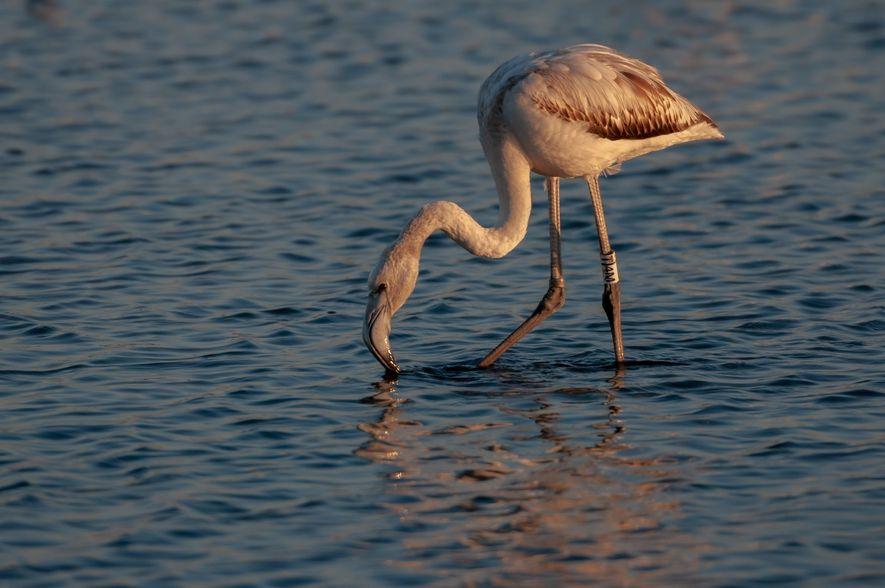 Um flamingo com uma anilha proveniente da Turquia. Este flamingo foi fotografado em 2017 numa salina ...
