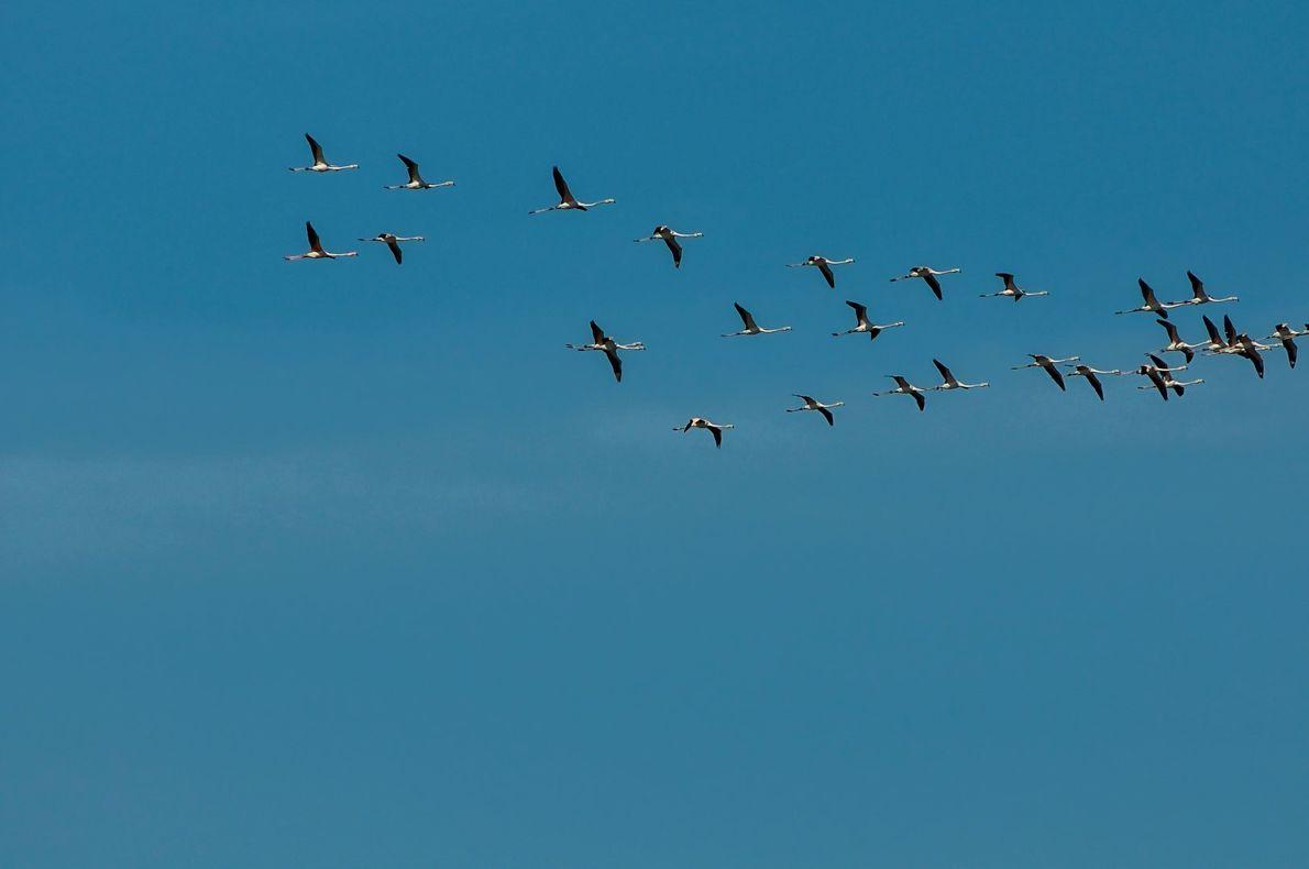 Um grupo de flamingos voa sobre as salinas na cidade de Aveiro.