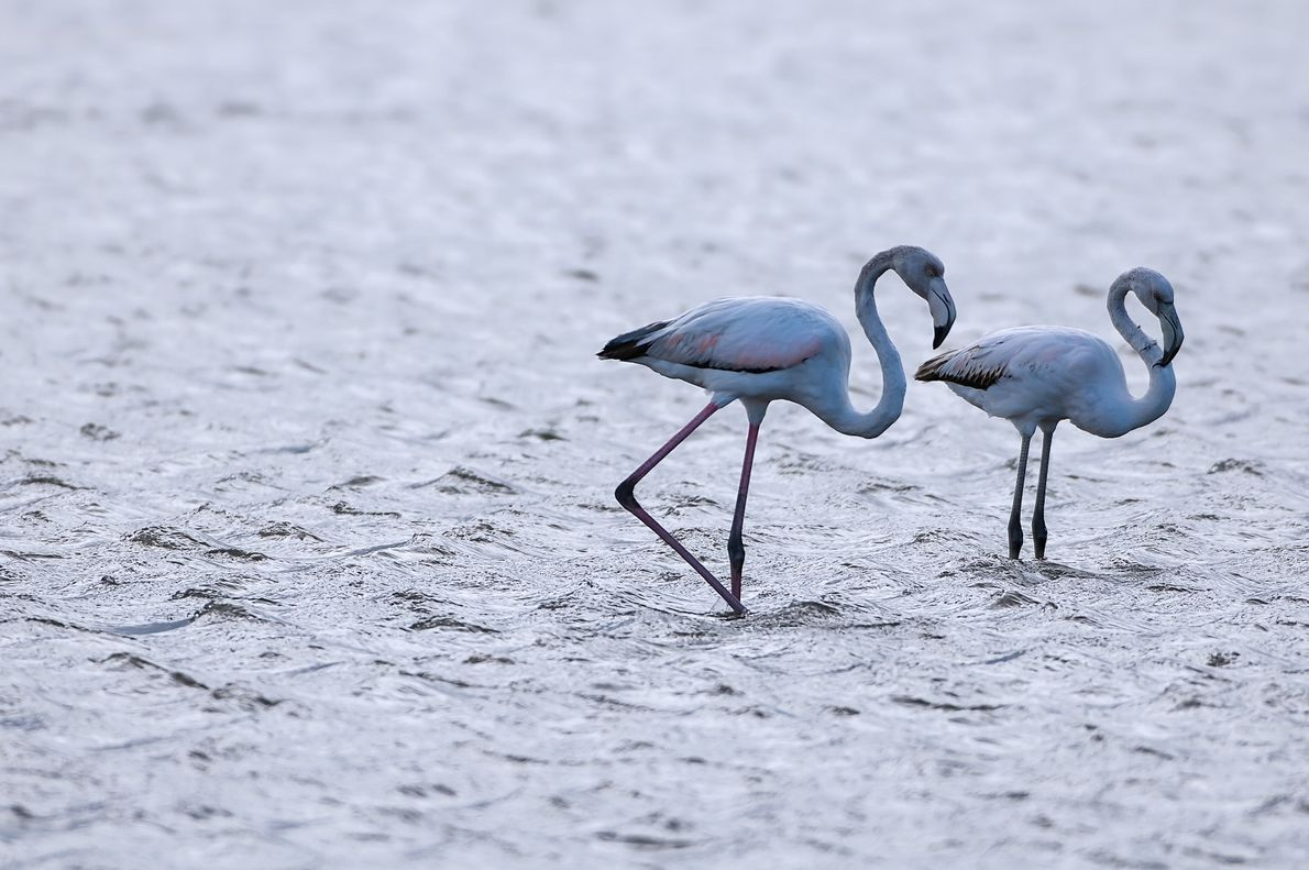 Flamingos na Ria de Aveiro na zona da Bestida.