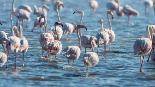 A inédita nidificação de flamingos em Portugal
