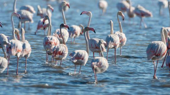 Flamingos nas salinas de Castro Marim.