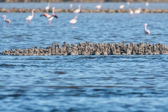 Jovens flamingos aglomerados