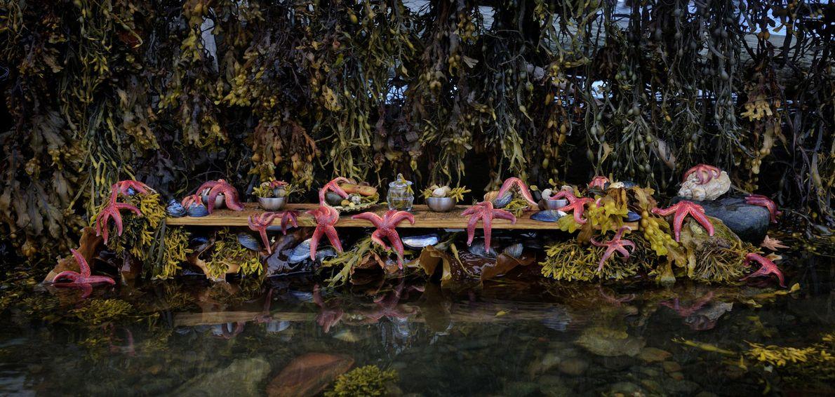 O banquete das estrelas do mar. Inderoy, Noruega, 2014.