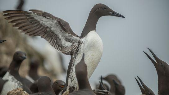 O airo-comum, uma espécie de ave marinha que se reproduz em ilhas de latitudes nórdicas, é ...