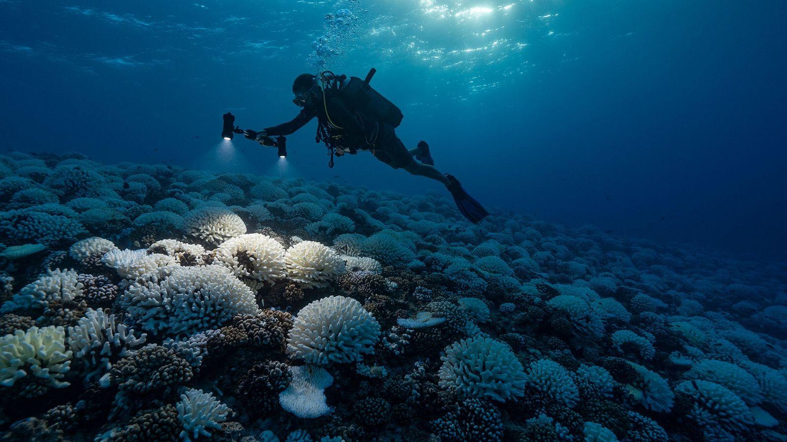 Os oceanos, e os corais que neles habitam, estão sob tensão extrema devido às alterações climáticas ...