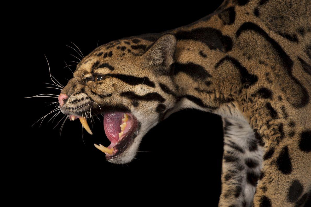 Leopardo-nebuloso
