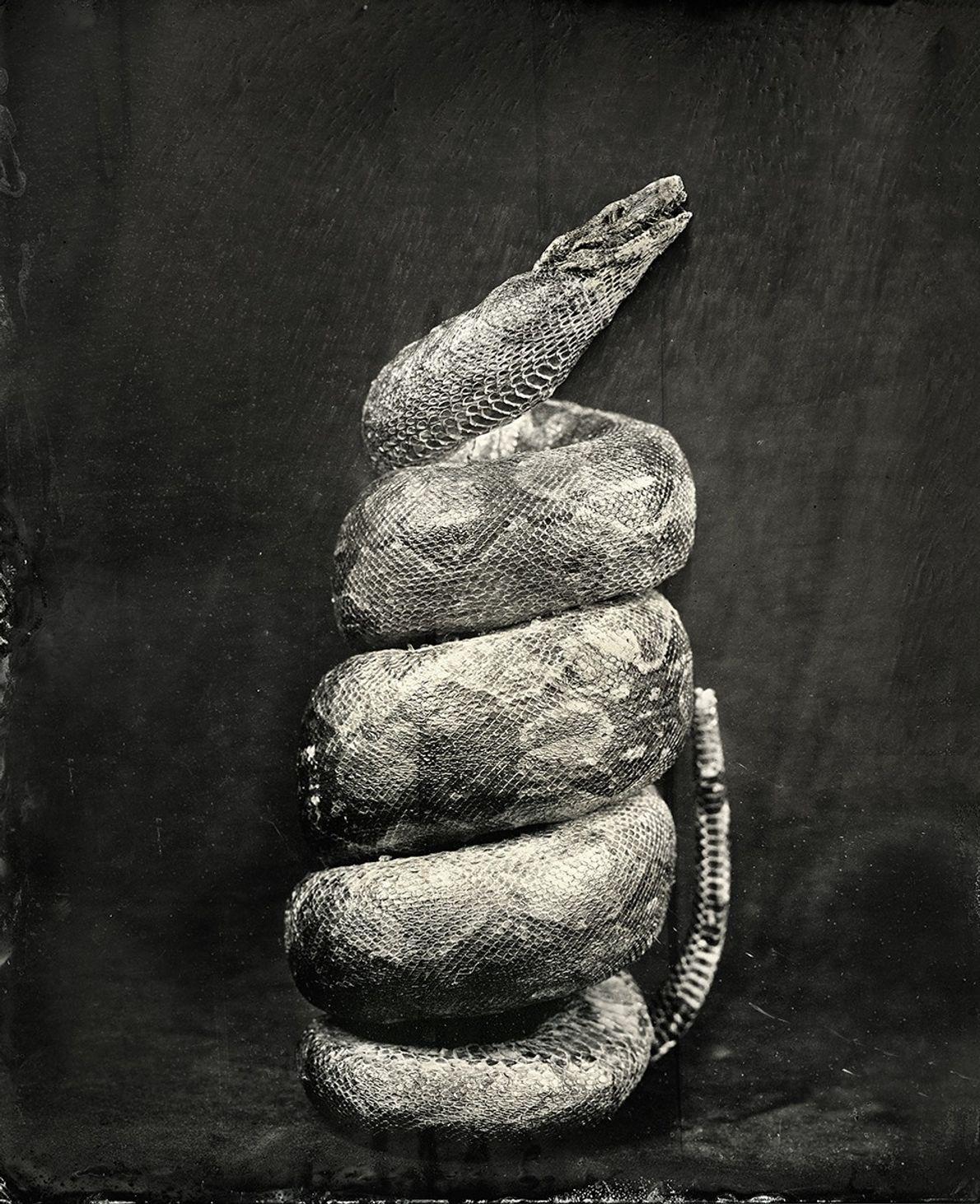 Esta cobra embalsamada é um dos inúmeros itens de vida selvagem ilícitos que foram confiscados na ...