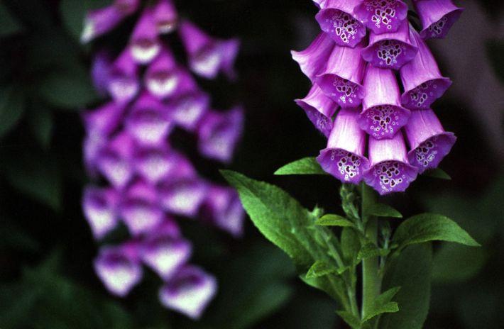 A Dedaleira, Digitalis purpurea, é frequentemente apelidada de abeloura, abelouro-vermelho, alcoques, beloiro, beloura, boca-de-sapo, caçapeiro, calças-de-cuco, ...