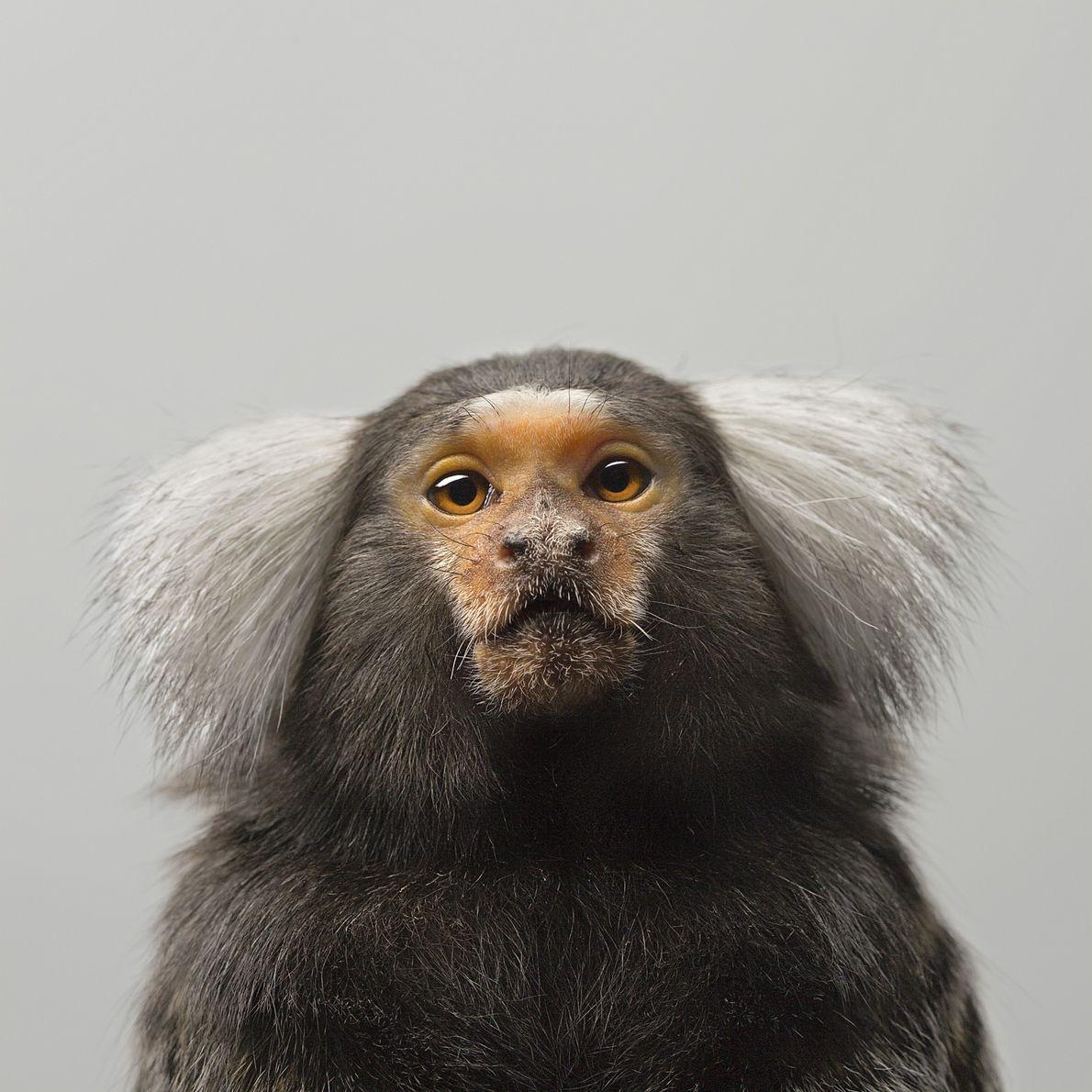 Na natureza, os saguis, um tipo de macaco encontrado na América do Sul, são altamente cooperativos. ...