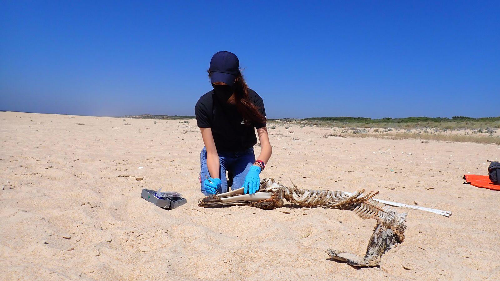 Amostragem, por investigadora do projeto ARROJAL, de um golfinho-comum (Delphinus delphis) arrojado na costa a norte ...