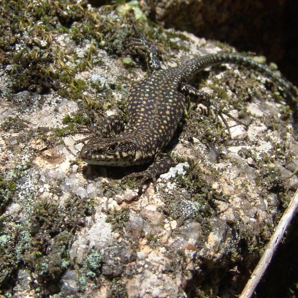 Lagartixa-lusitânica, uma nova espécie portuguesa