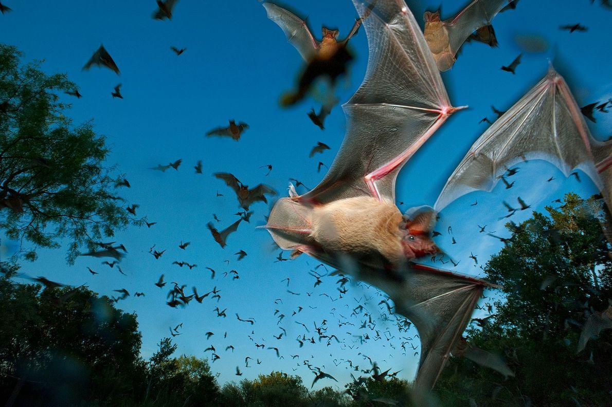 Morcegos-de-cauda-livre na Eckert James River Bat Cave Preserve, no Texas