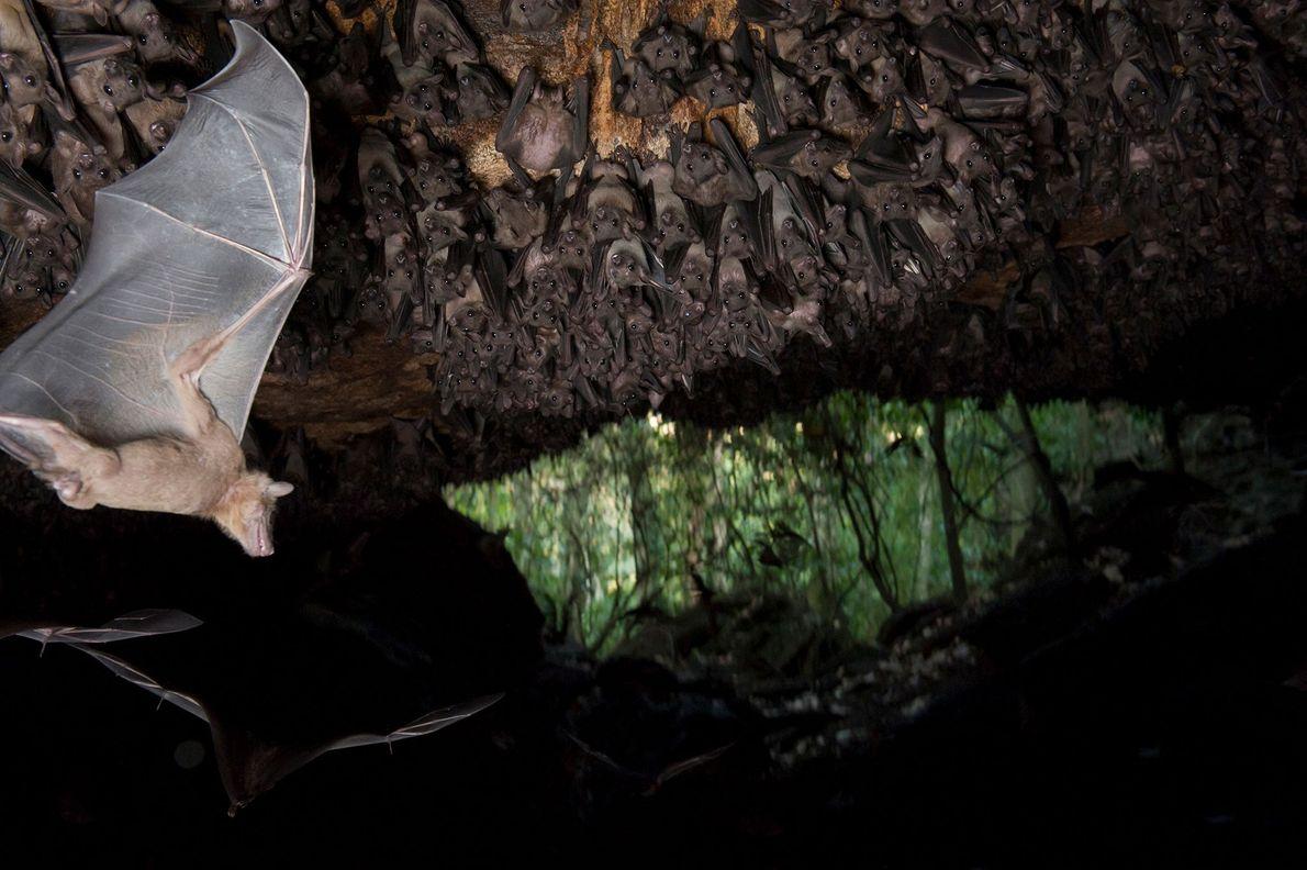 Morcegos-da-fruta-egípcios no teto de uma caverna da Maramagambo Forest, no Uganda