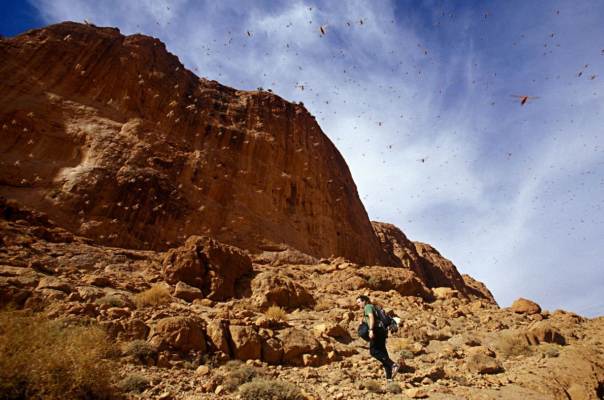 Praga de locustas nas gargantas de Todra, em Marrocos