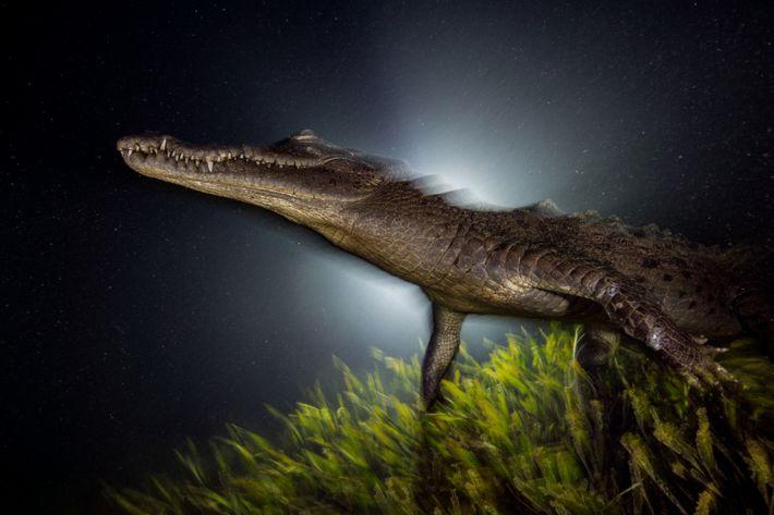 crocodilo-americano