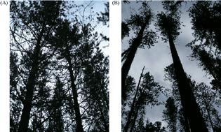 Timidez da copa do Pinus Contorta aos 29 anos (A) e aos 94 anos (B).