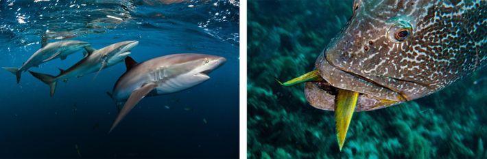 Esquerda: Um trio de tubarões-luzidios (Carcharhinus falciformis) reluz no mar das Caraíbas azul. Os recifes saudáveis ...