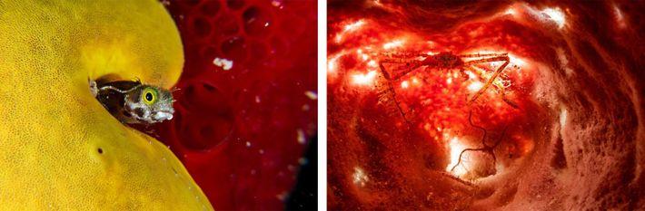 Esquerda: Um Acanthemblemaria spinosa, com o tamanho de uma unha humana, espreita a partir da segurança ...