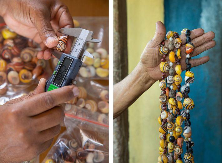 Esquerda: Bernardo Reyes-Tur mede conchas de Polymita picta no seu laboratório. Reyes-Tur espera que, ao aprofundar ...