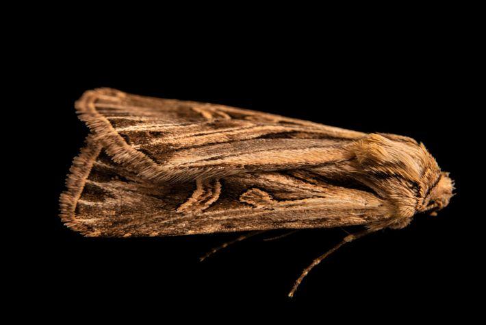 Joel Sartore fotografou a mariposa Dichagyris longidens em setembro de 2020 perto de Santa Fé, no ...