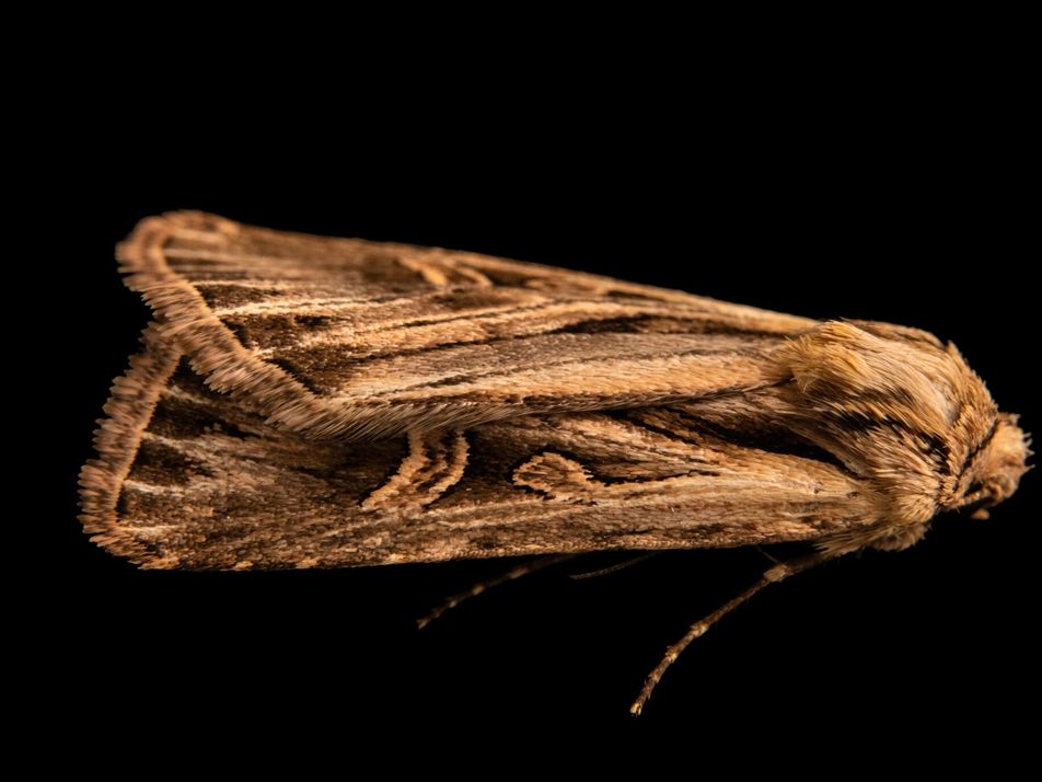 Mais de 130 anos após a sua descoberta, esta mariposa foi finalmente fotografada viva