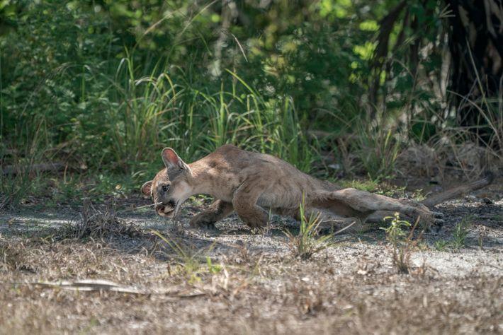 Uma cria macho de pantera-da-flórida com dificuldades para se levantar depois de perder o controlo das ...