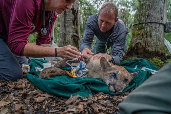 Em Corkscrew Swamp, a veterinária Lara Cusack e o biólogo Mark Lotz recolhem amostras de sangue ...